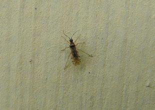Thumbnail for the post titled: Dicyphus hesperus Knight (Heteroptera, Miridae)