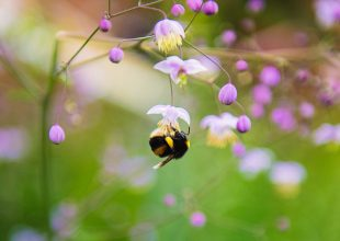 Thumbnail for the post titled: Pollinating Outdoor Crops Using Western Bumblebees